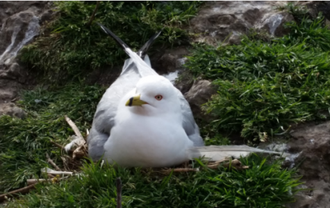 Seagull in Nest by Catherine Gan