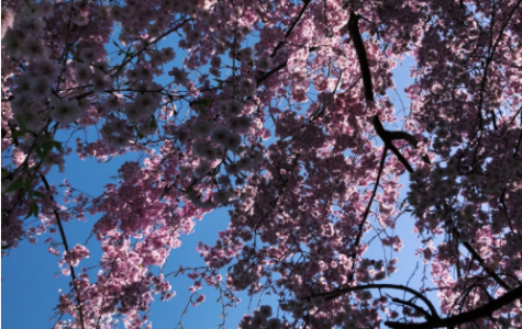 Blooming Cherry Blossom by Sophia Gonzalez